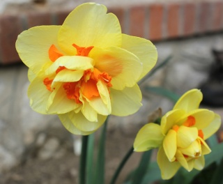 Narcissus - les narcisses - Page 4 Img_2611