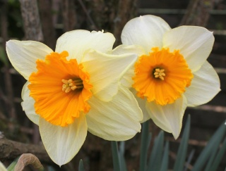 Narcissus - les narcisses - Page 4 Img_2612