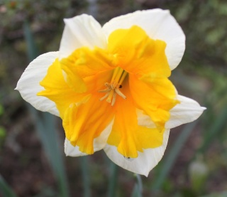 Narcissus - les narcisses - Page 4 Img_2613