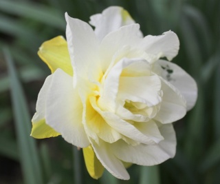 Narcissus - les narcisses - Page 4 Img_2712