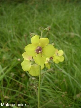 Verbascum phlomoides - molène faux-phlomis Molane11