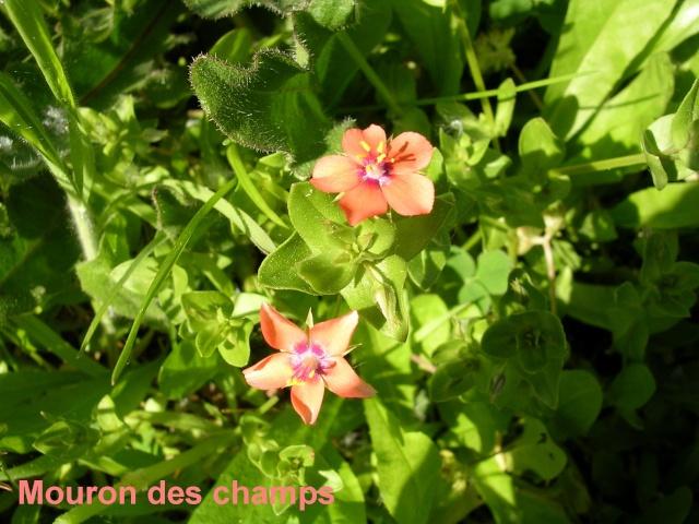 Lysimachia arvensis (= Anagallis arvensis) - mouron des champs Mouron10