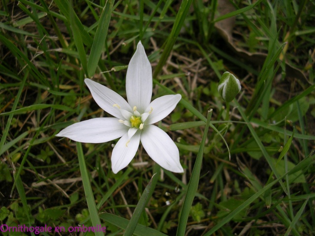 Ornithogalum umbellatum - dame d'onze heures Ornith10