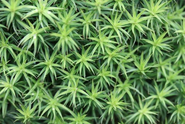 mousses et lichens [verrouillé] - Page 2 Polytr10