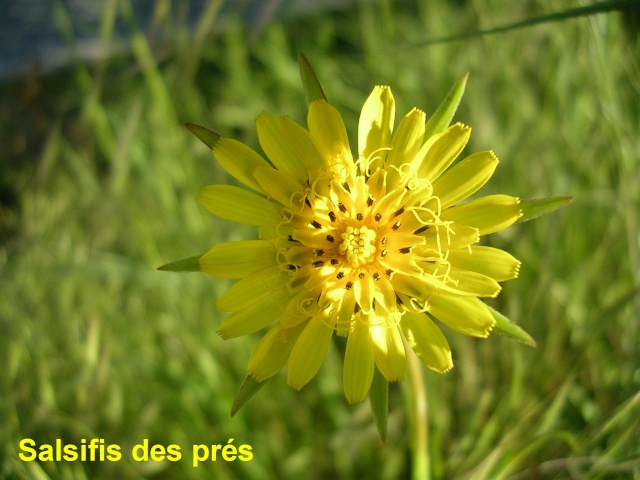 Tragopogon pratensis - salsifis des prés  Salsif11
