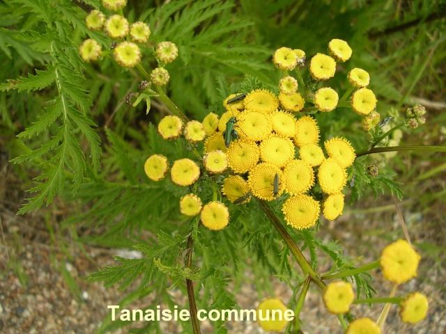 Tanacetum vulgare - tanaisie commune Tanais11