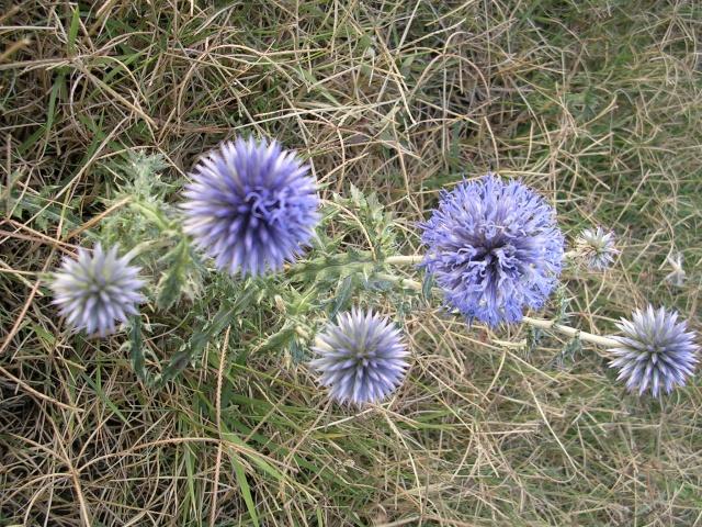 Echinops ritro - azurite, oursin bleu Vac_ar14