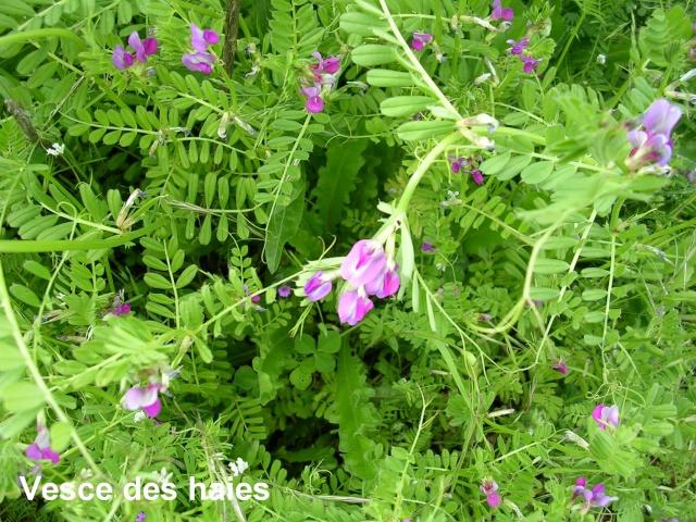 Vicia sativa et Vicia sepium ?  [id. non terminée] Vesce_10