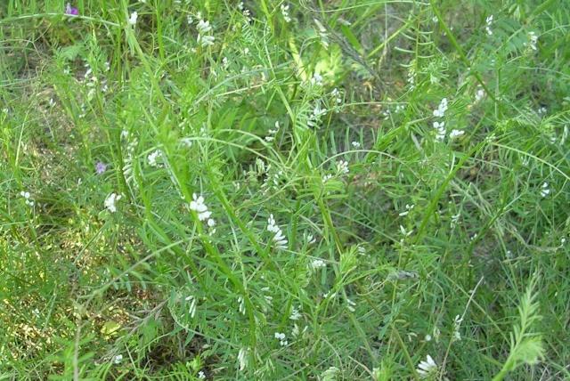 Vicia hirsuta - vesce hirsute Vesce_12