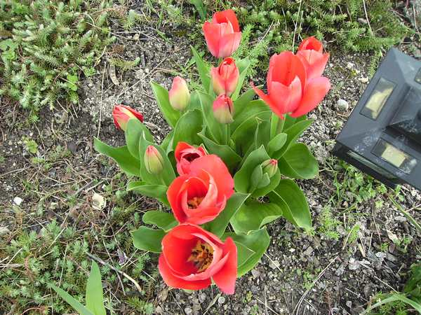 30 - Le printemps  - Page 4 Tulipe13