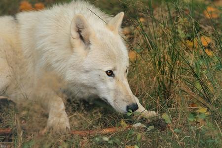 Alaric -fertig- Wolfi10