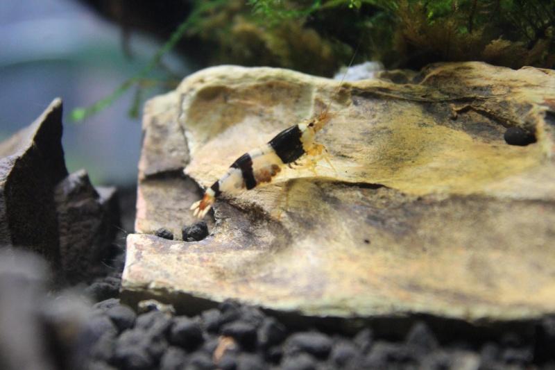 Les crevettes à opty  77407810