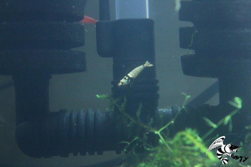Les crevettes à opty  85899610