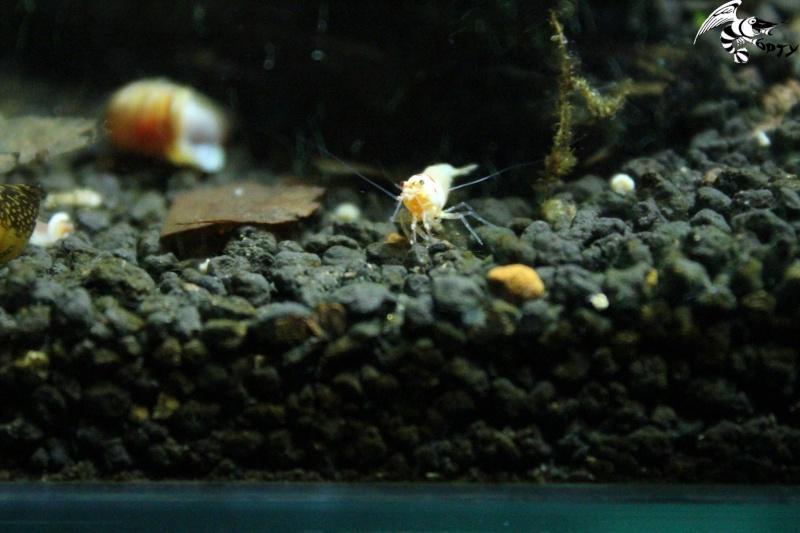 Les crevettes à opty  88537110