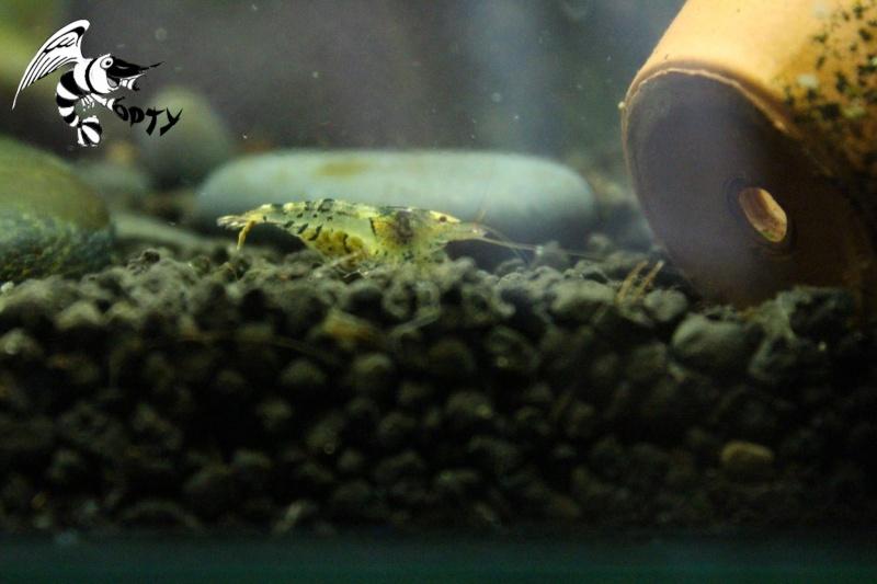 Les crevettes à opty  89169710