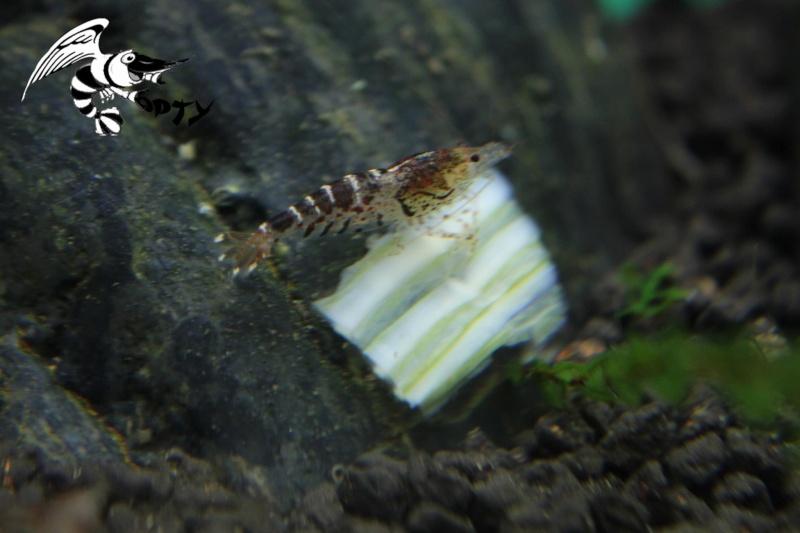 Les crevettes à opty  89257010
