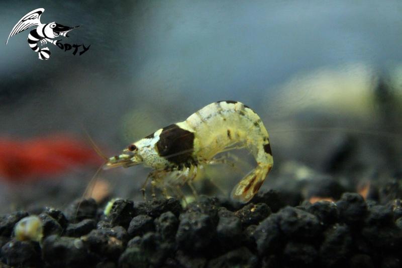 Les crevettes à opty  90467510