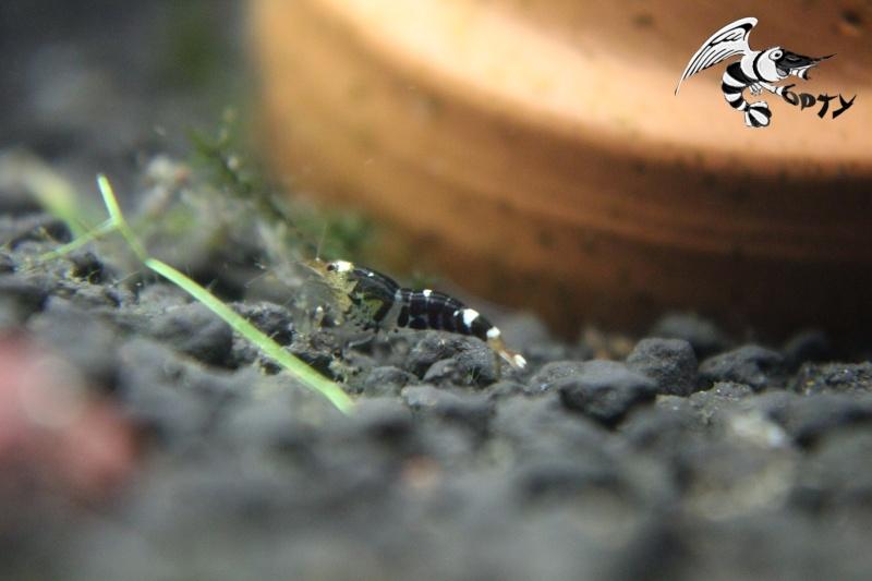 Les crevettes à opty  Img_5510
