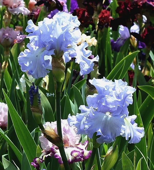 "Iris mal ""branchés"" 22_mai11"