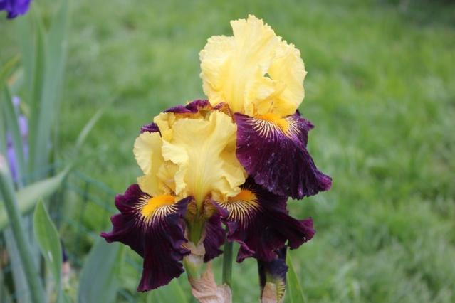 "Iris mal ""branchés"" 27_mai12"