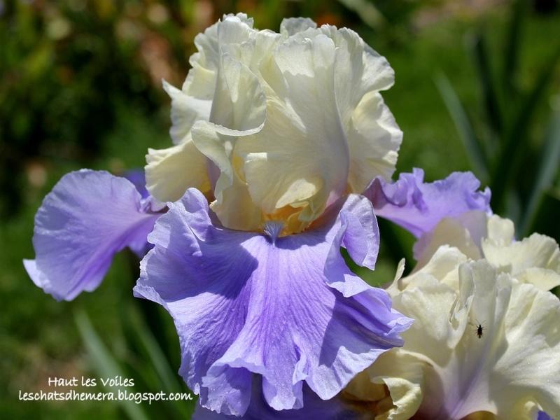 votre plus bel iris Haut_l11