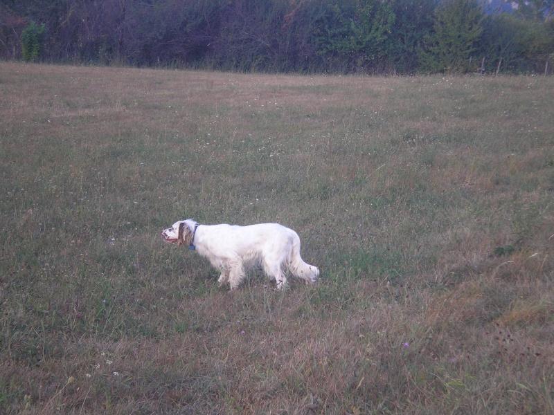 photos de chiens d'arrêt prises a l'arrêt sur gibier  00610