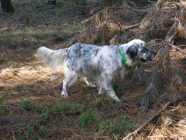 photos de chiens d'arrêt prises a l'arrêt sur gibier  Divers10