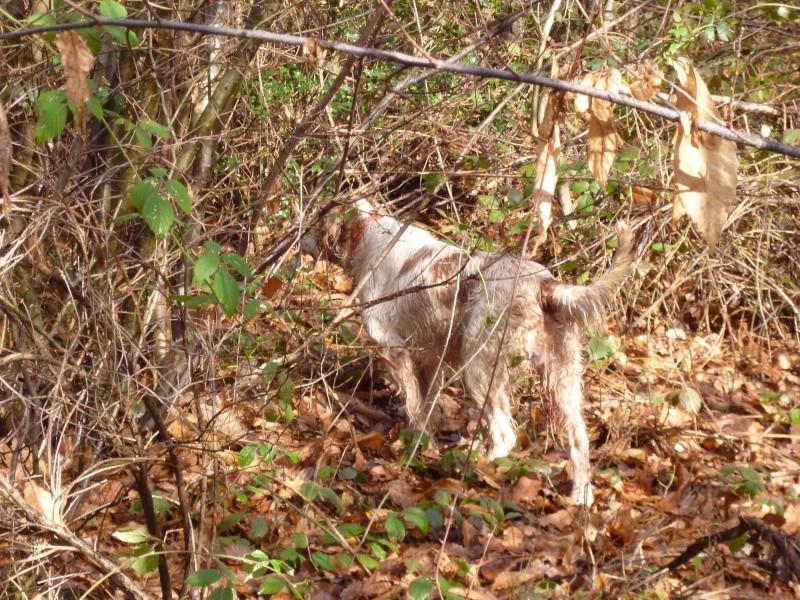 photos de chiens d'arrêt prises a l'arrêt sur gibier  P1000710