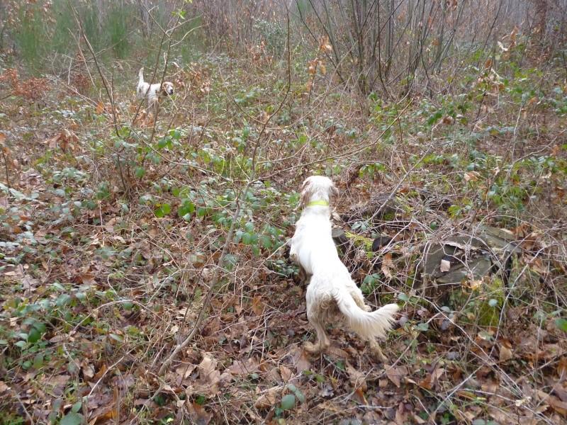 photos de chiens d'arrêt prises a l'arrêt sur gibier  P1000711