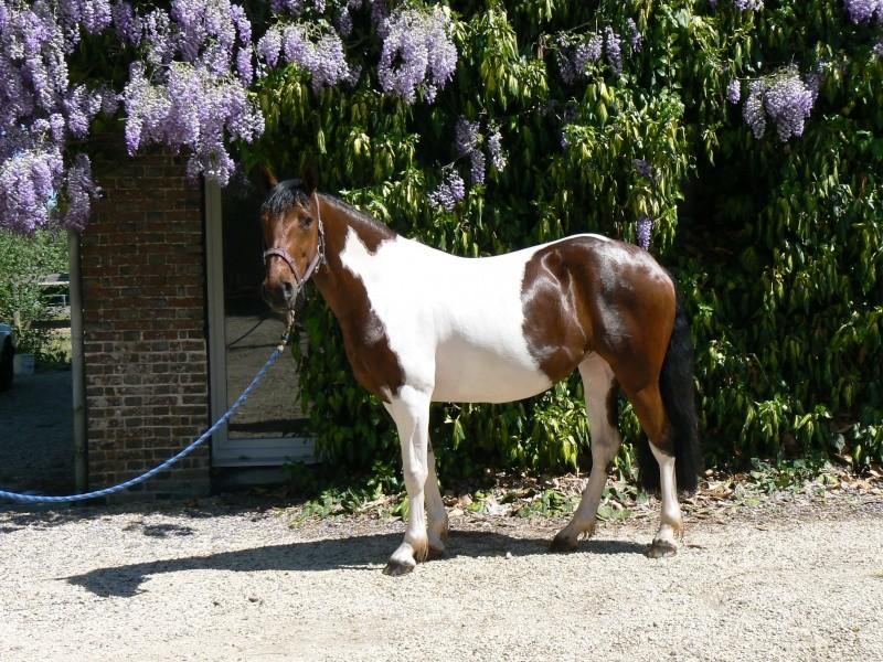 Les chevaux Dorélia  P1040011