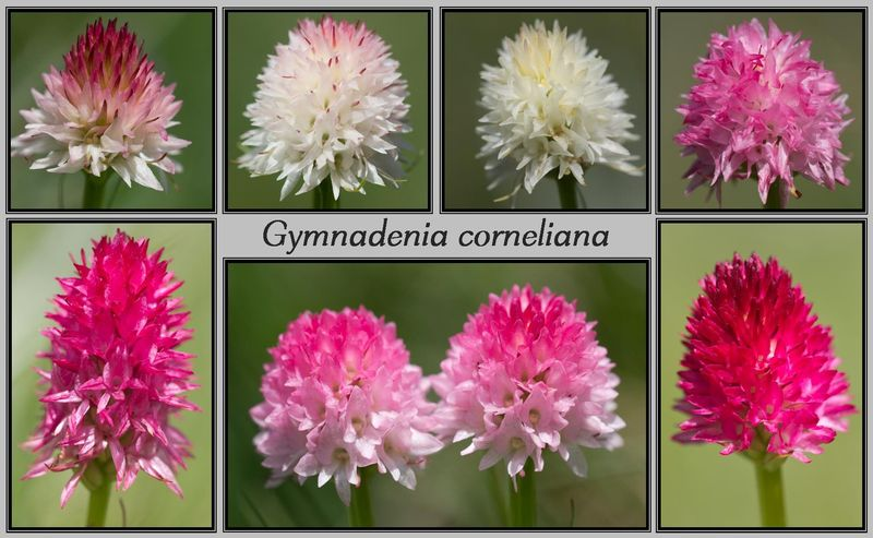 Gymnadenia ( Nigritella ) corneliana ( N.de Cornelia ) Cornel10