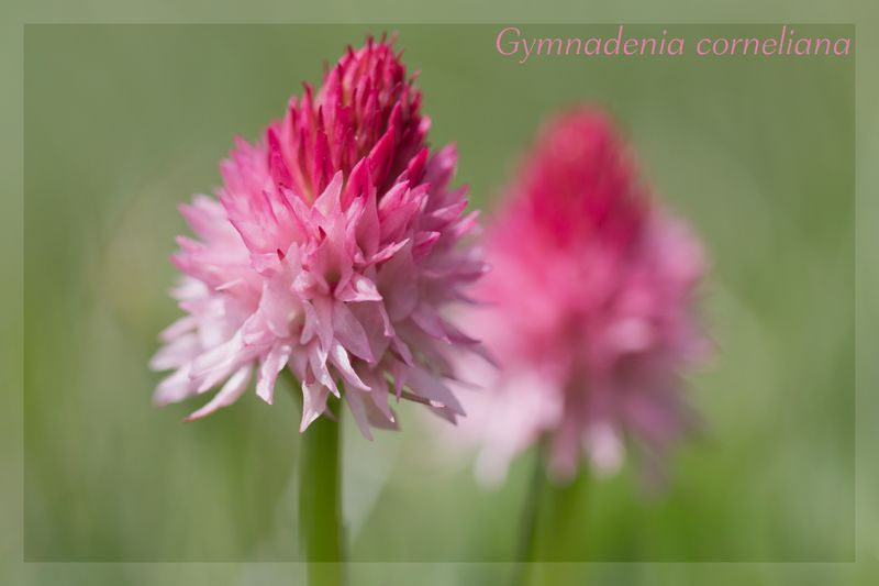 Gymnadenia ( Nigritella ) corneliana ( N.de Cornelia ) Cornel11