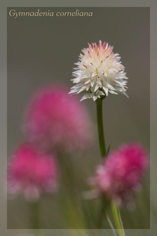 Gymnadenia ( Nigritella ) corneliana ( N.de Cornelia ) Cornel14
