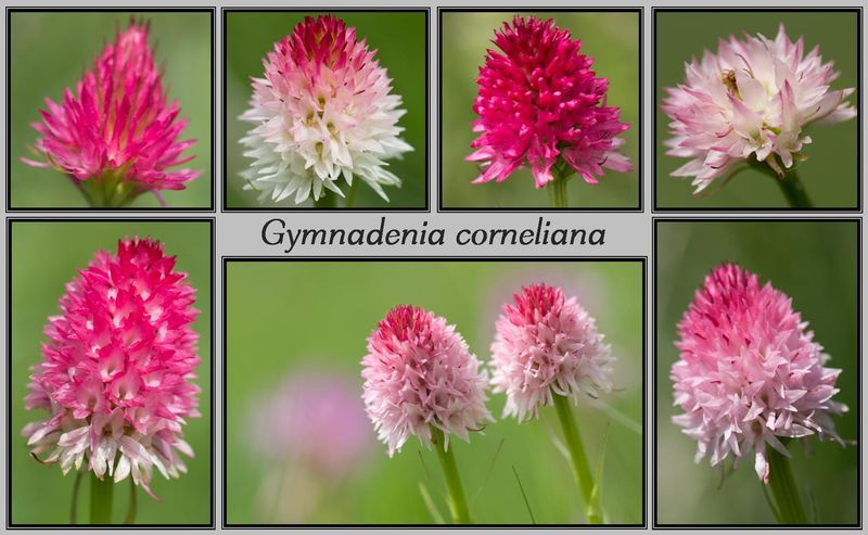 Gymnadenia ( Nigritella ) corneliana ( N.de Cornelia ) Cornel15
