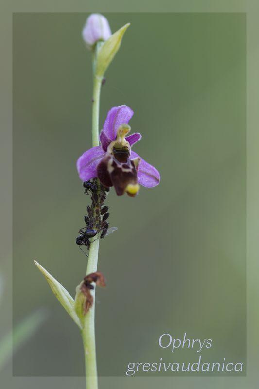 Ophrys gresivaudanica ( Ophrys du Grésivaudan ) Gresiv10