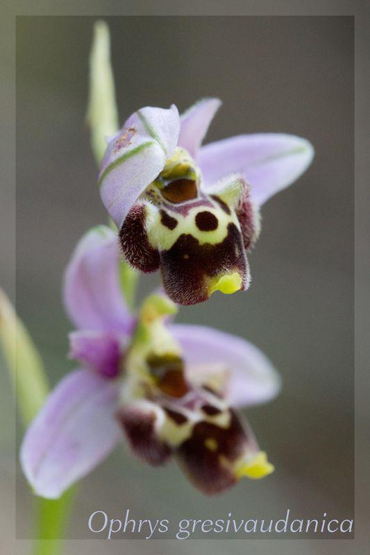 Ophrys gresivaudanica ( Ophrys du Grésivaudan ) Gresiv11