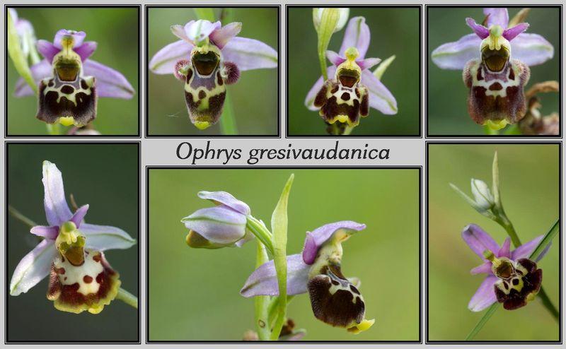 Ophrys gresivaudanica ( Ophrys du Grésivaudan ) Gresiv12