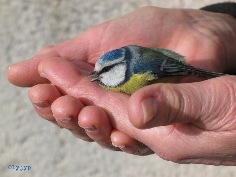 Sauvetages d'oiseaux Img_5112