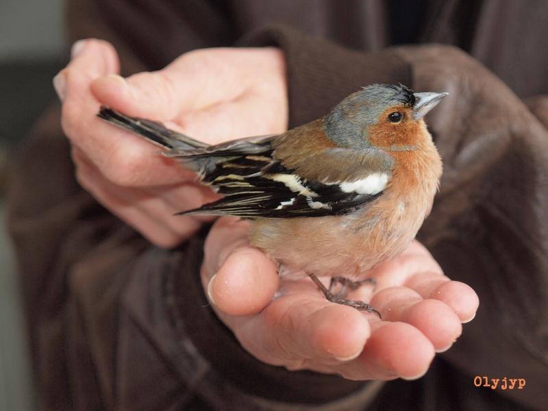 Sauvetages d'oiseaux P4152514