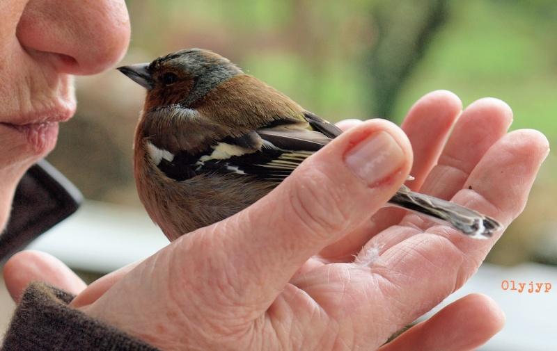 Sauvetages d'oiseaux P4152516