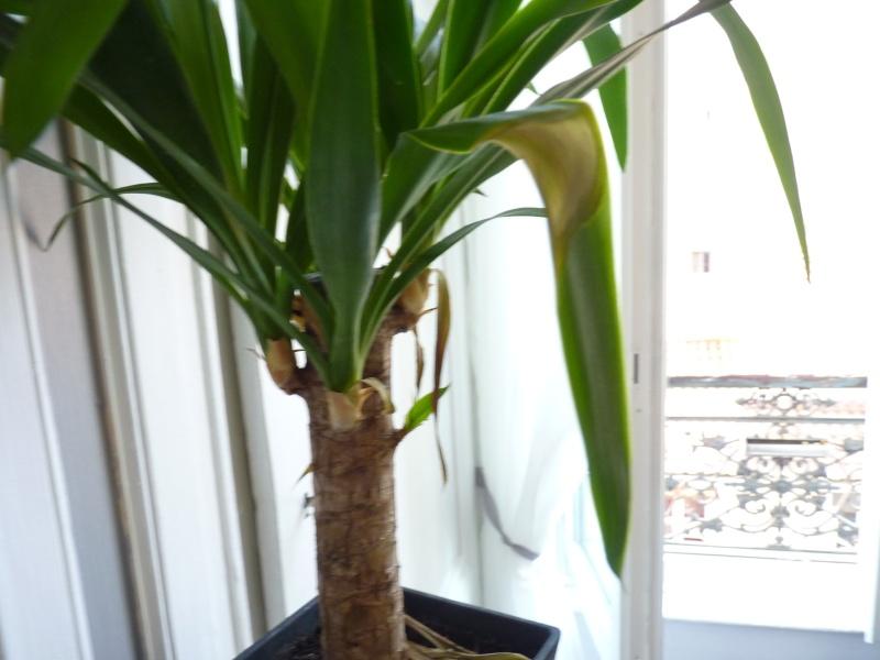 Yucca P1090716