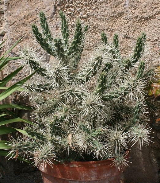 Cylindropuntia rosea (= Opuntia rosea) Img_7910