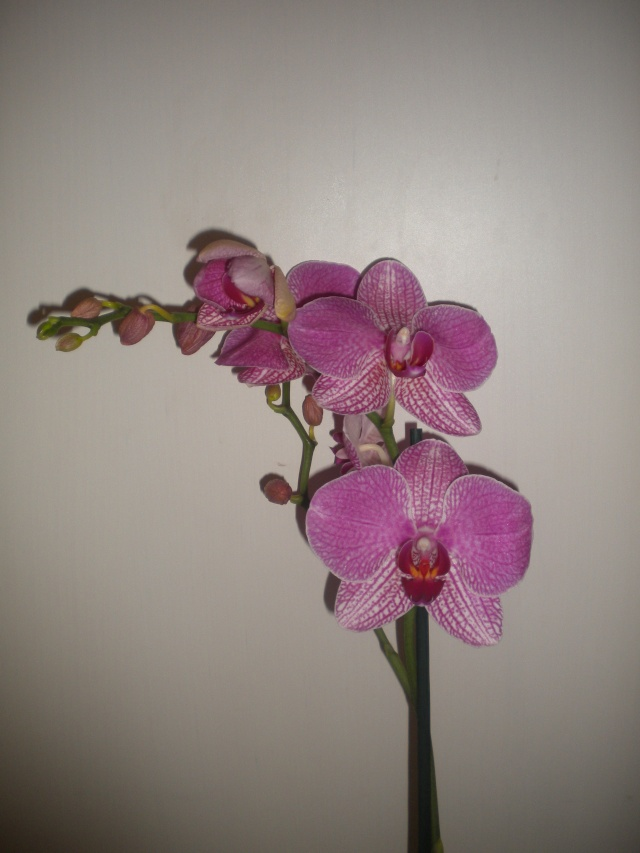 Phalaenopsis hybride..bizarrerie de la nature Dscn1910