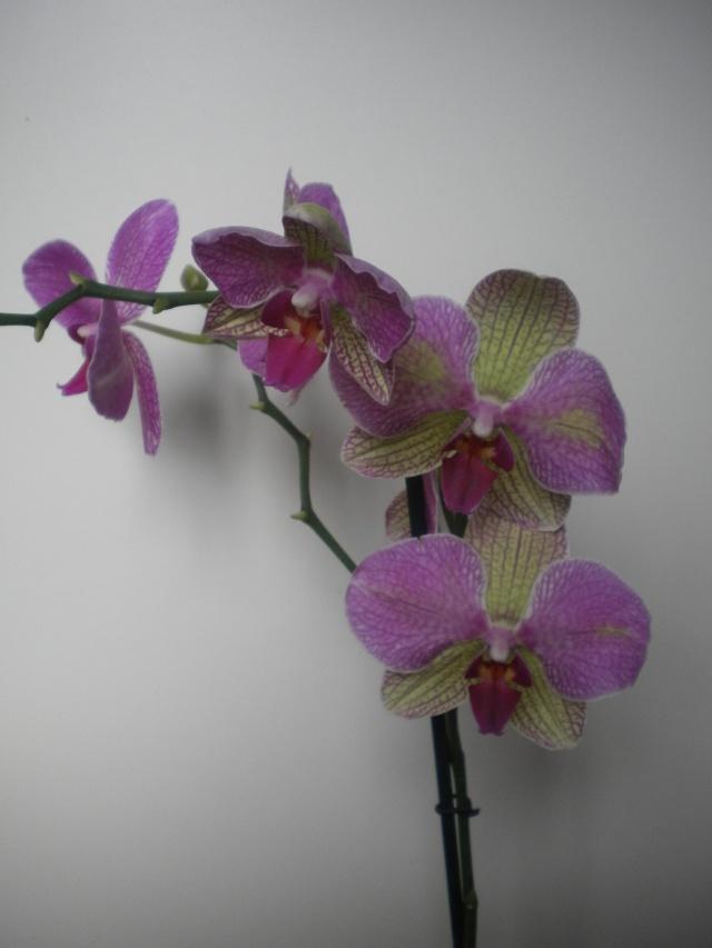 Phalaenopsis hybride..bizarrerie de la nature Dscn2312