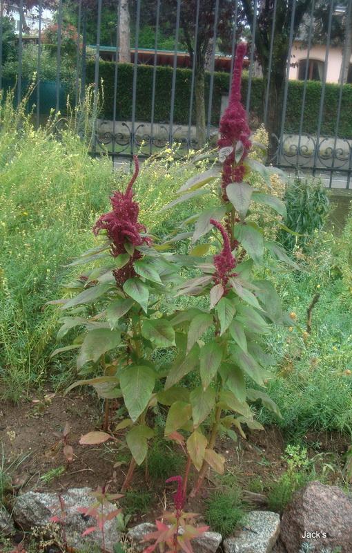 Hibiscus d ' Egypte  ( et autres fleurs ) - Page 2 Amaran10