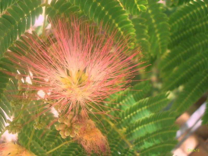 Hibiscus d ' Egypte  ( et autres fleurs ) - Page 3 Arbiti12
