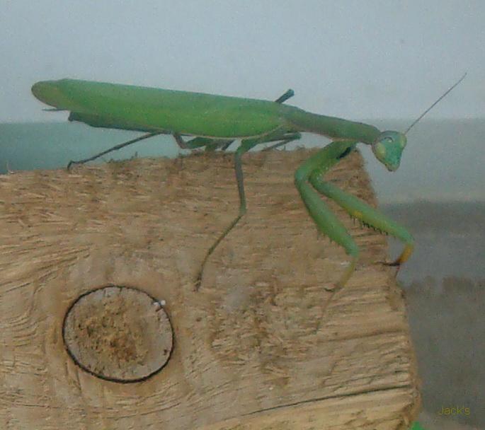La mante religieuse et autres insectes Mangue10