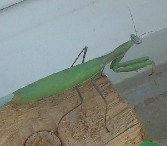 La mante religieuse et autres insectes Mangue11