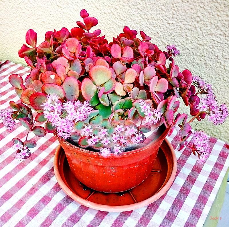 Hibiscus d ' Egypte  ( et autres fleurs ) - Page 3 Orpin10