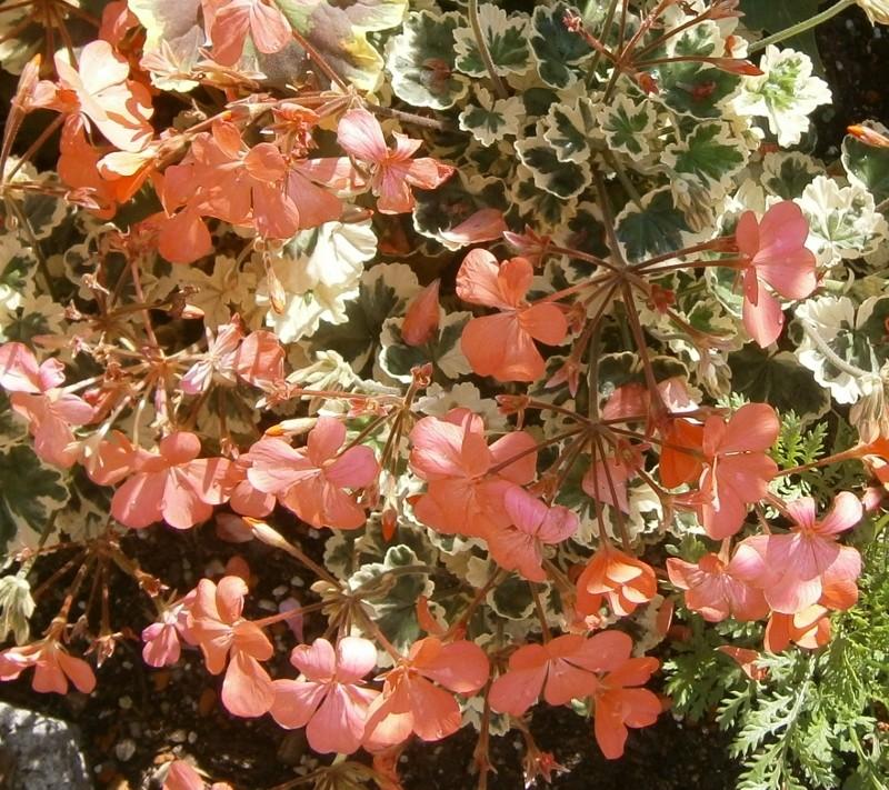 Pelargonium - Pelargonien - alle nichtsukkulenten Arten und Sorten - Aussaat - Stecklinge - Seite 2 Pelarg14